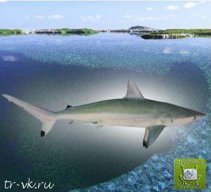 Акула пятнохвостая