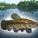 Рыба переярок черный